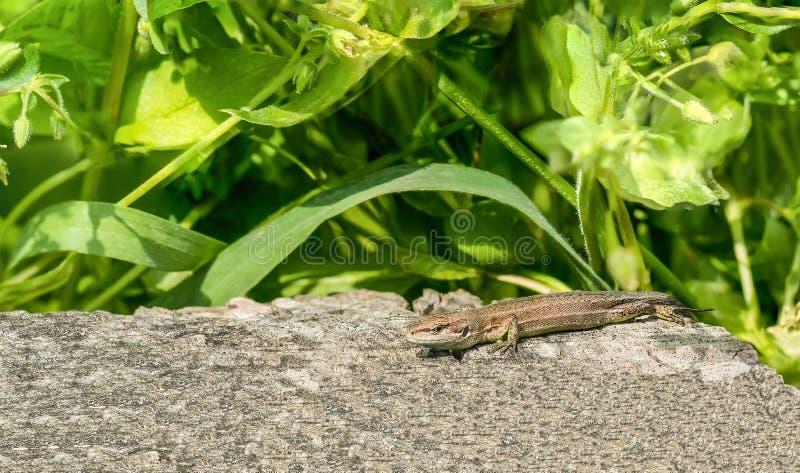 Portrait of the Pontic lizard Darevskia pontica Rock lizards on an old stump stock photos