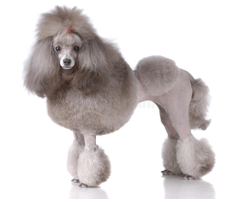 Portrait of poodle stock photography