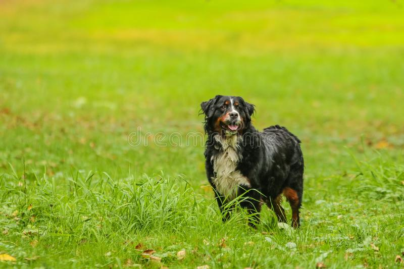 Portrait of the posing Bernese Mountain Dog stock photos
