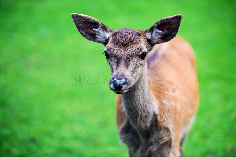 Portrait of powerful adult red deer stag in Autumn Fall forest royalty free stock image