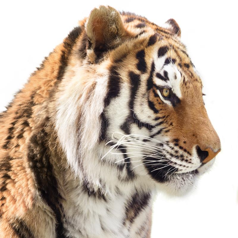 Tiger portrait. Portrait of powerful tiger isolated on white background stock photo