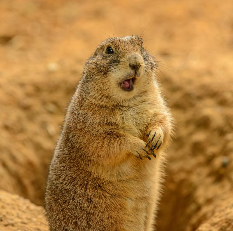 Portrait of prairie dog Cynomys ludovicianus with opened mouth looking confused stock images