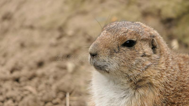 Portrait of a prairie dog stock image