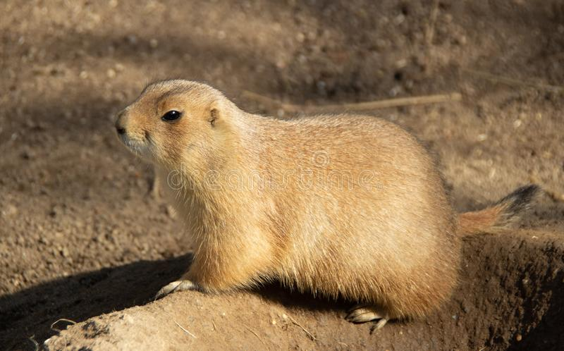 Portrait of prairie dog from profile stock photos