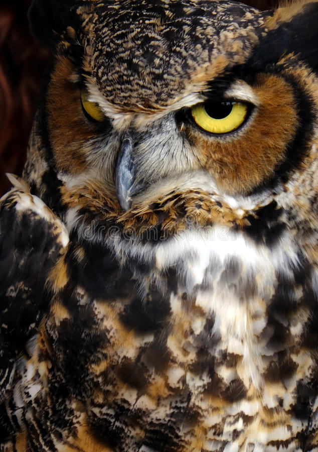 Portrait of a Predator. Great horned owl posing for portrait with watercolor effect stock images