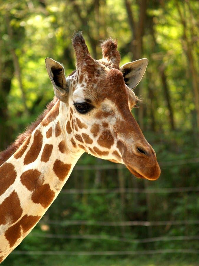 Portrait principal de tir de girafe image stock