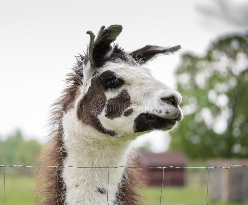 Portrait in profile of a proud lama looking into the distance. royalty free stock image