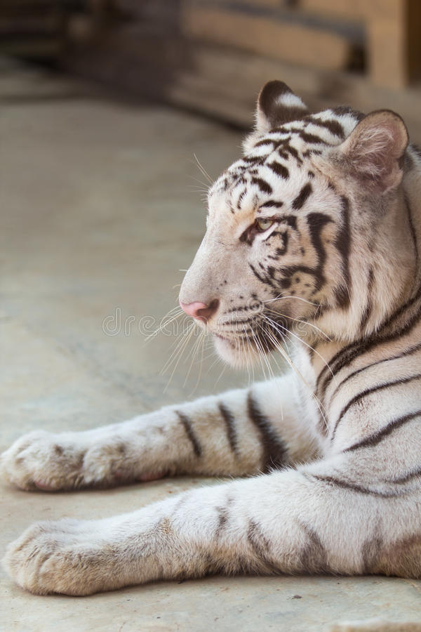 Portrait of profile a white tiger stock photography