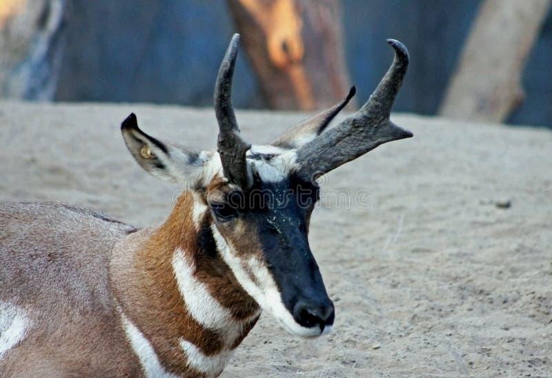 Pronghorn, Antilocapra americana stock photo