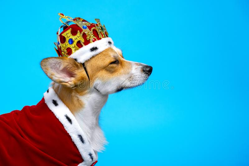 Portrait proud and domineering  cute corgi dog wearing  royal costume crown on a blue background, squinting his eyes royalty free stock image