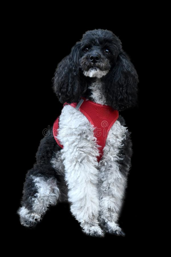 Harlequin poodle with his new red dog harness. Portrait of a proud harlequin poodle sitting in front of a black background royalty free stock photos