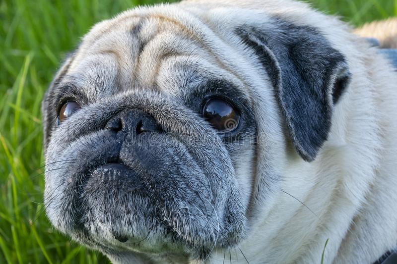 Portrait of a pug. Close. An angry, displeased pug, dog is looking at the camera royalty free stock images
