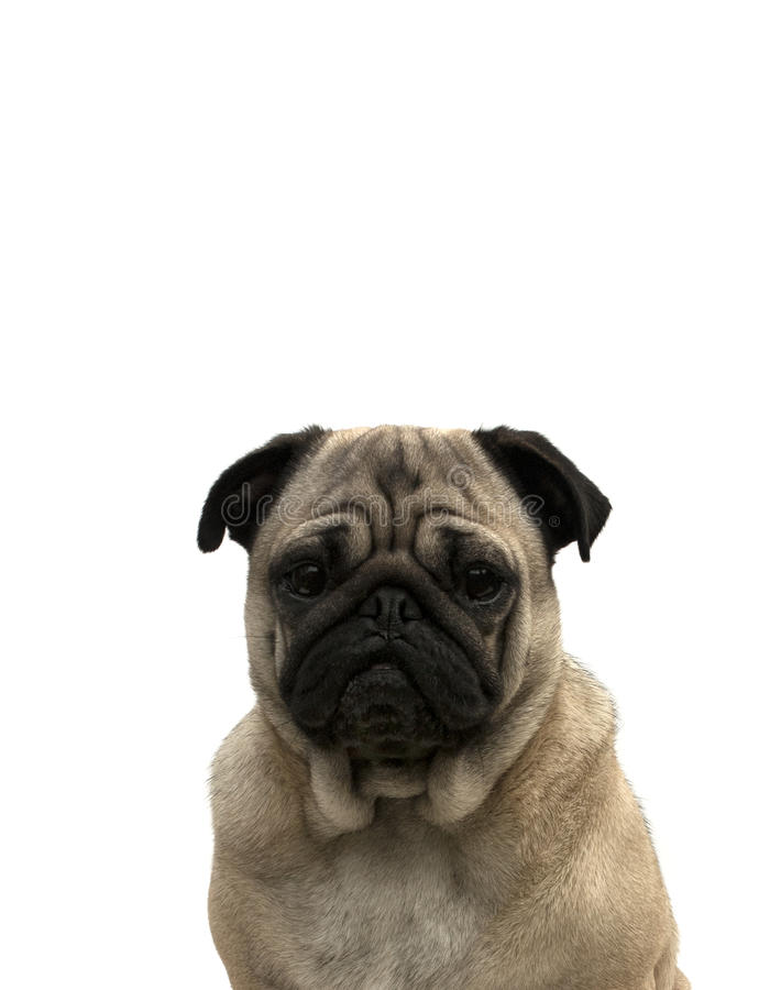 Portrait of a pug stock photography