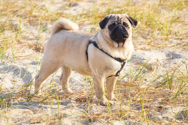 Portrait of a pug dog with big sad eyes and a questioning look on the beach royalty free stock photo
