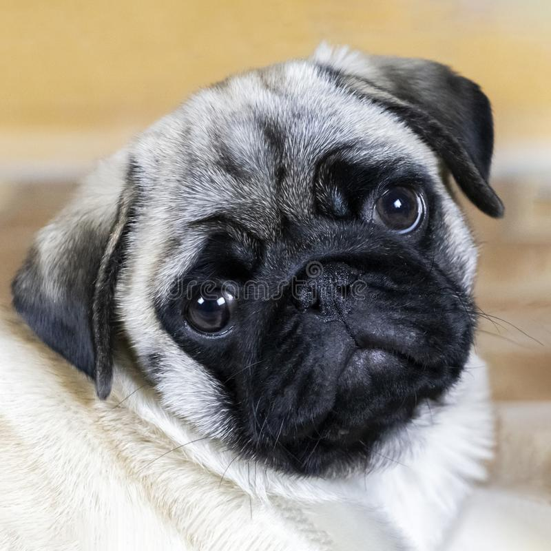 Portrait of a pug puppy. Pug puppy attentively looks at you with bowed head stock photography