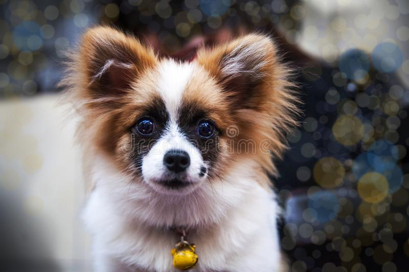 Portrait of puppy dog. Face of BacKing dog stock photography