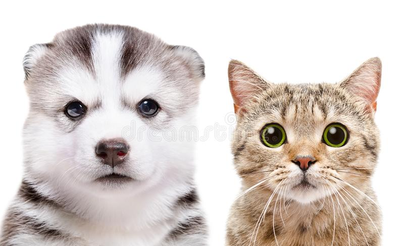 Portrait of the puppy Siberian Husky and cat Scottish Straight stock image