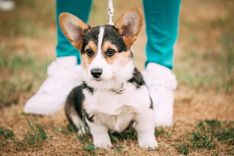 Portrait of puppy Welsh Corgi dog stock photography