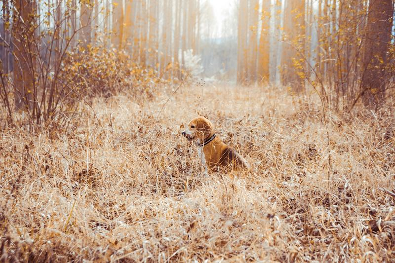 Portrait of pure breed beagle dog. Beagle in the middle of field with dry straws at spring background stock image