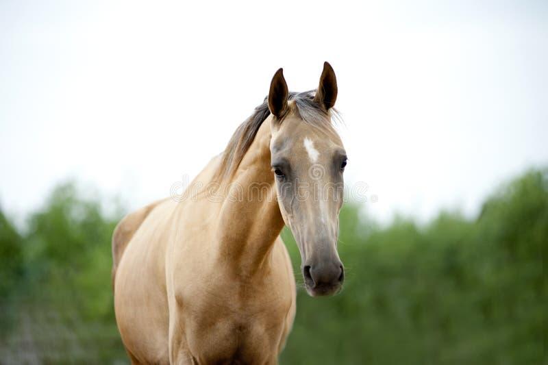 Portrait of purebred ahalteke stallion at blue sky background stock photography