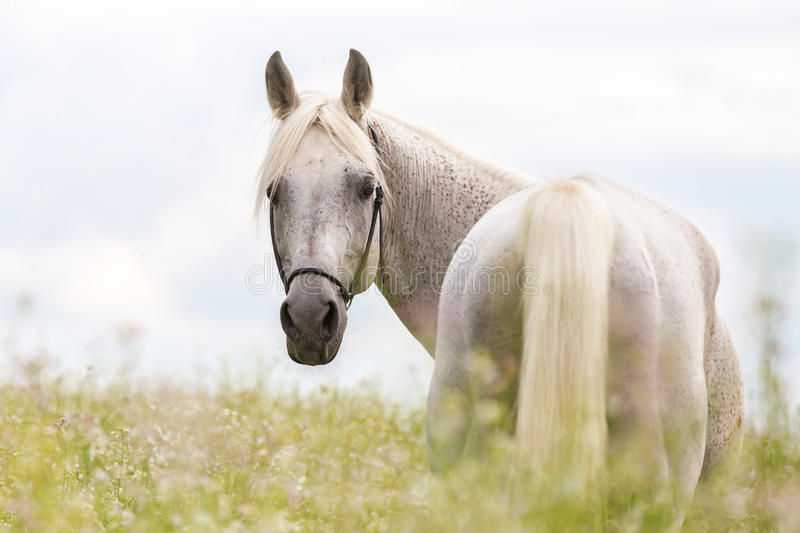 Portrait of a purebred Arabian stallion. royalty free stock images
