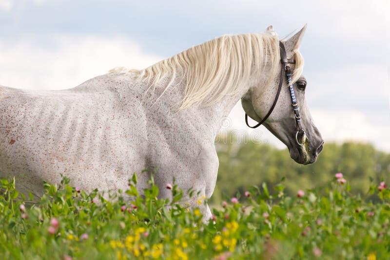 Portrait of a purebred Arabian stallion. stock photo