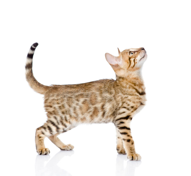 Portrait of a purebred Bengal cat in profile. looking up. isolated royalty free stock images