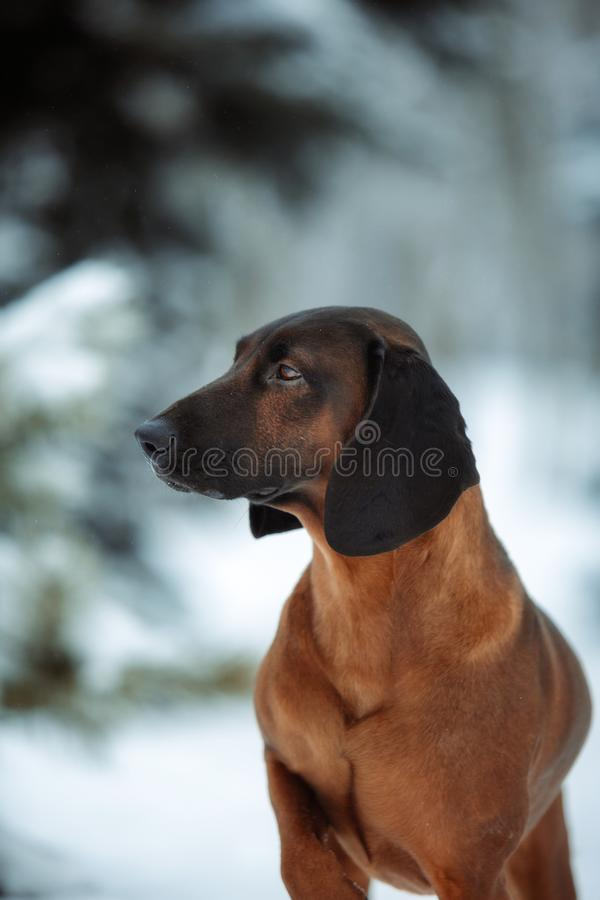 Portrait purebred dog breed Bavarian hound winter royalty free stock images