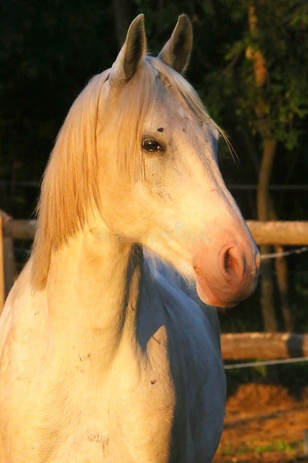 Portrait of a purebred gray arabian stallion. Closeup of a young purebred horse. Purebred young shagya arabian horse posing at stock photos
