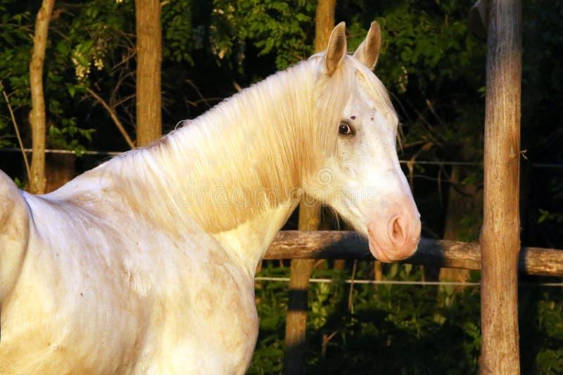 Portrait of a purebred gray arabian stallion. Closeup of a young purebred horse. Purebred young shagya arabian horse posing at royalty free stock photography