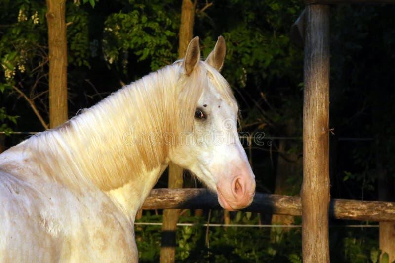 Portrait of a purebred gray arabian stallion. Closeup of a young purebred horse. Purebred young shagya arabian horse posing at stock images