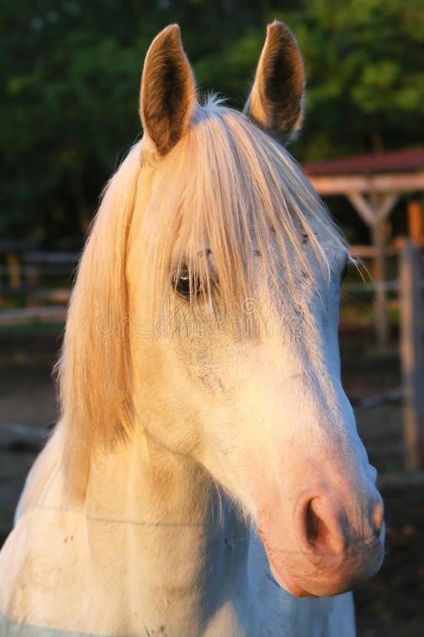 Portrait of a purebred gray arabian stallion. Closeup of a young purebred horse. Purebred young shagya arabian horse posing at stock image