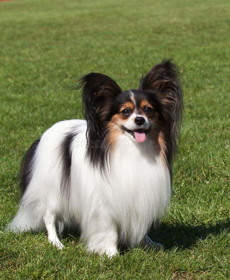 Download Portrait Of Purebred Papillon Dog Stock Photo - Image: 27594634