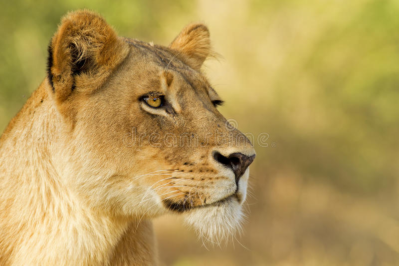 Portrait of a Queen. Female Lion staring intently at prey, Sabi Sands Private Game Reserve, South Africa royalty free stock image