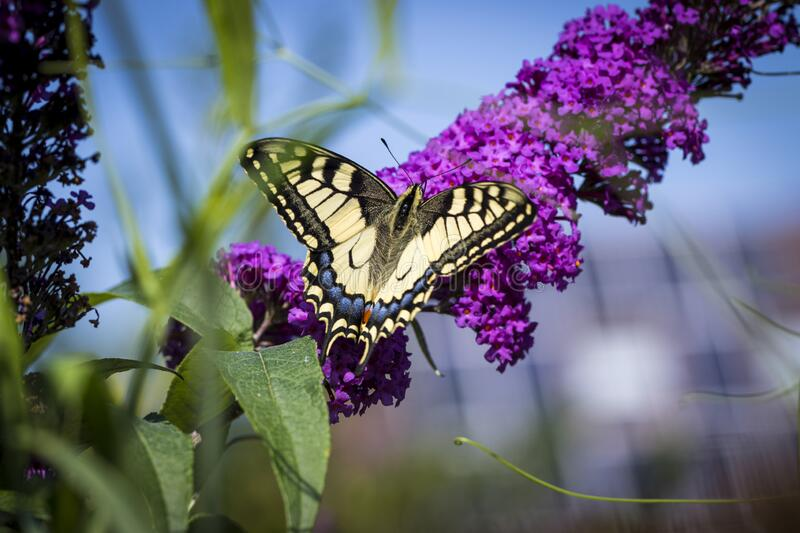 A portrait of a queen page butterfly sitting on a purple flower branch of a butterfly bush. This butterfly`s scientific name is papilio machaon royalty free stock photo