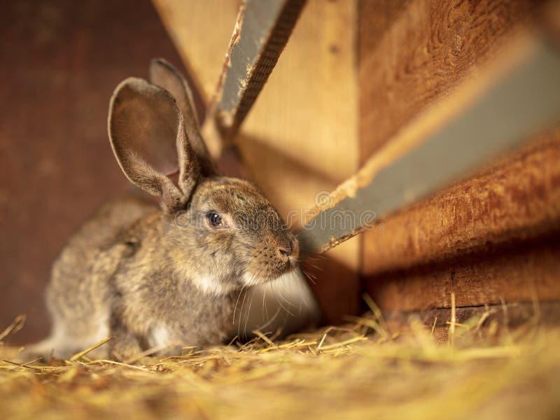 Portrait of a rabbit on a farm royalty free stock photos