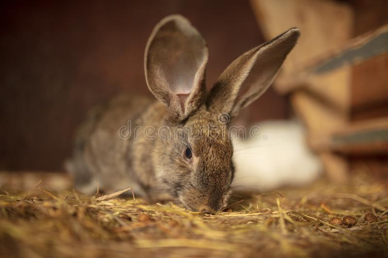 Portrait of a rabbit on a farm royalty free stock images
