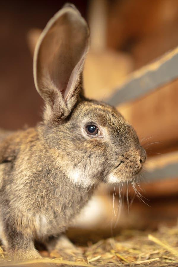 Portrait of a rabbit on a farm stock photography