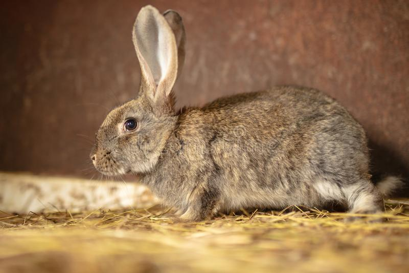 Portrait of a rabbit on a farm stock images