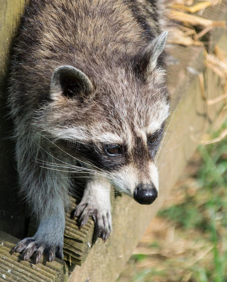 Portrait of a Raccoon. A close up portrait of a Raccoon royalty free stock images