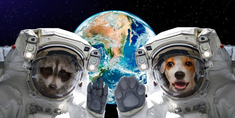 Portrait of a raccoon and dog astronauts royalty free stock photos