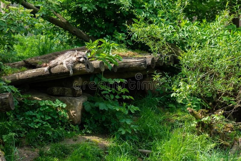 Portrait of a raccoon that is resting on a tree trunk royalty free stock image