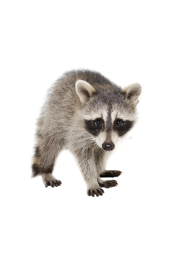 Portrait of a raccoon royalty free stock images