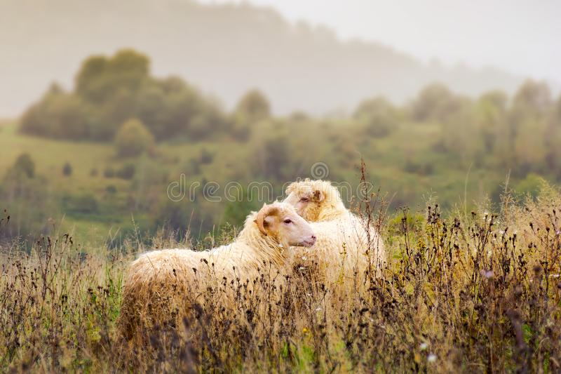 Portrait of ram and sheep in fog. Portrait of ram and sheep. walking away in to the fog. leadership in relationship concept stock photography