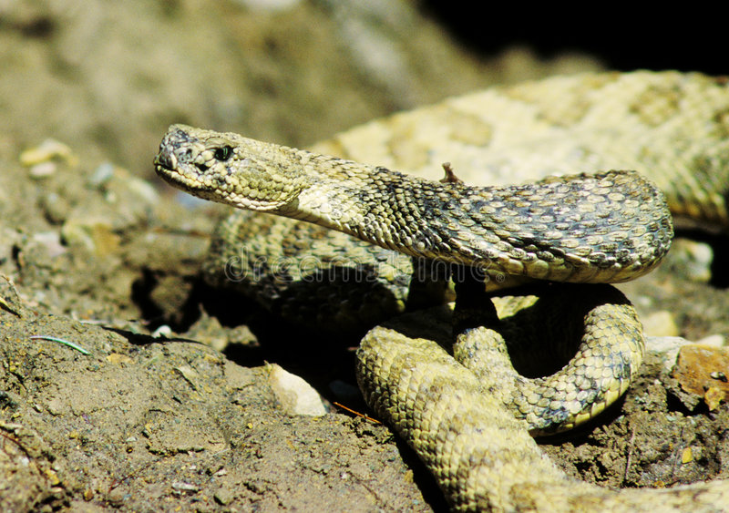 Portrait Of Rattlesnake Royalty Free Stock Photography