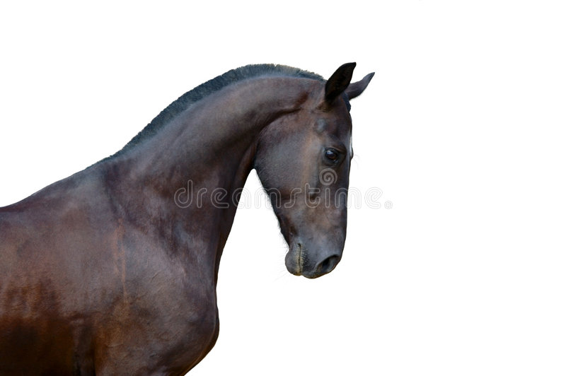 Portrait of raven stallion isolated stock photography