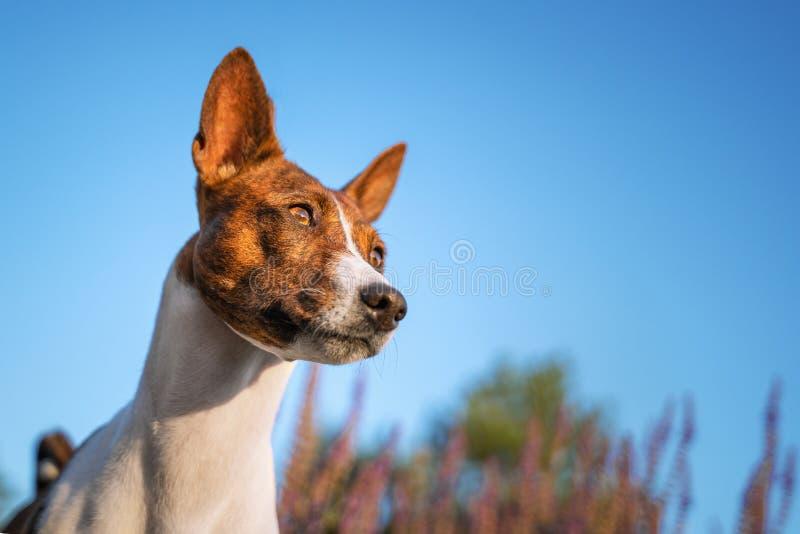 Portrait of a red basenji against the blue sky. Basenji Kongo Terrier Dog stock photos