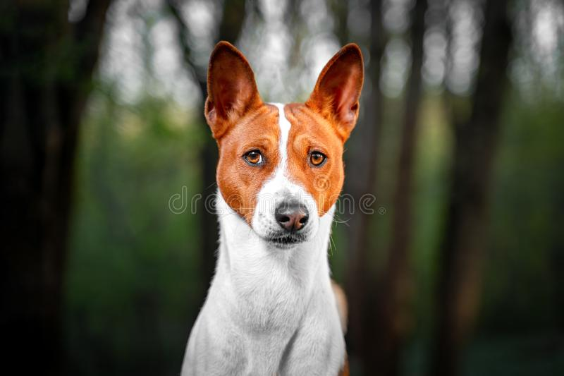 Portrait of a red basenji standing in a summer forest. Basenji Kongo Terrier Dog stock photography