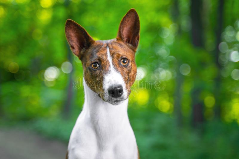 Portrait of a red basenji standing in a summer forest. Basenji Kongo Terrier Dog stock photo