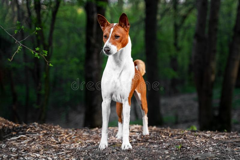 Portrait of a red basenji standing in a summer green forest. Basenji Kongo Terrier Dog stock photo